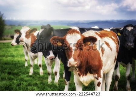 Herd of young calves looking at camera - stock photo