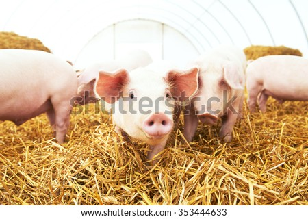 herd of young piglet on hay and straw at pig breeding farm - stock photo