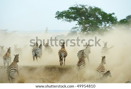 Herd of zebras (African Equids) running in the dust in nature reserve in South Africa - stock photo