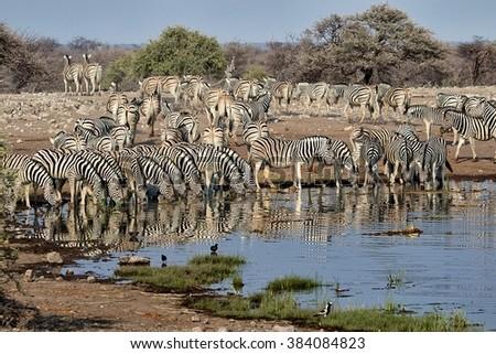 herd of zebras drinking in a waterhole a etosha national park namibia - stock photo