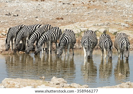 Herd of zebras (equus quagga) drinking at a waterhole in Etosha National Park, Namibia - stock photo