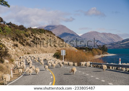 Herding sheep on the road, New Zealand - stock photo