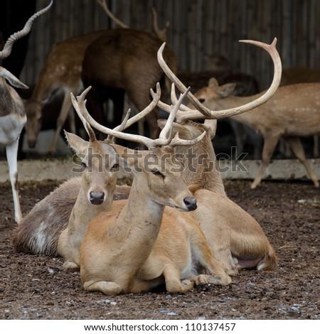 Herds of deer - stock photo