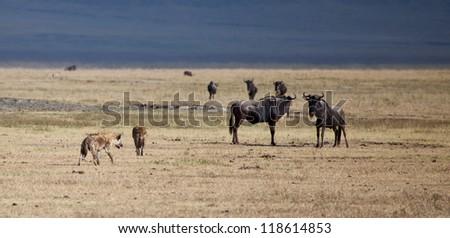 Herds of Wildebeest cross the Serengeti during the Great Migration. Serengeti National Park, Tanzania - stock photo
