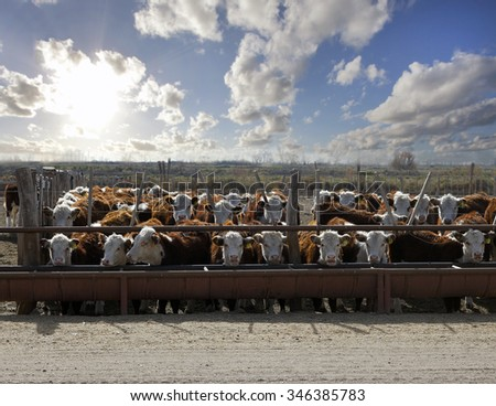 Hereford cattle - stock photo