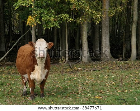 Hereford cow standing looking at the camera there are fallen leaves in the meadow. - stock photo