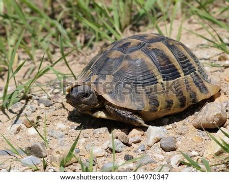 Hermann's Tortoise, turtle in grass, testudo hermanni - stock photo