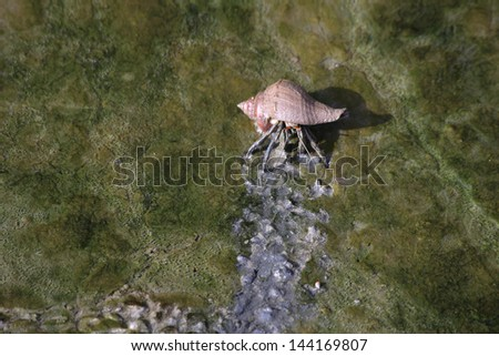 Hermit Crab Crawling on The Mud - stock photo