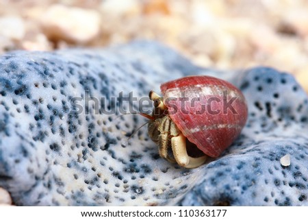 Hermit crab, pagurian - stock photo
