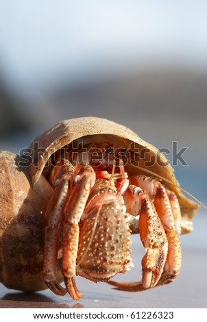 Hermit crab peeking from its conch - stock photo