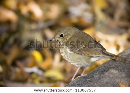 Hermit Thrush (Catharus guttatus faxoni), first year individual sitting on log among Fall leaves in New York's Central Park. - stock photo
