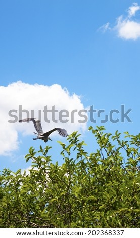 Heron flying in the everglades national park, florida - stock photo