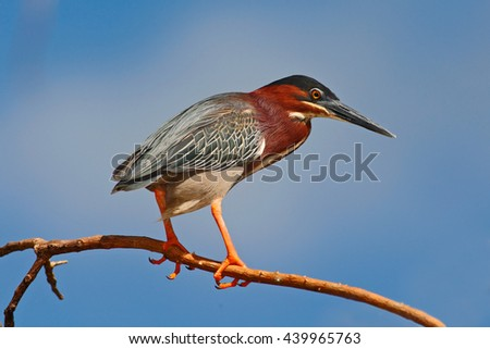 Heron sitting on the branch with blue sky. Green-backed Green Heron, Butorides virescens, in the nature. Heron on the sky with white clouds. Heron in the nature habitat. Heron on the clouds. - stock photo
