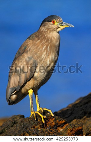 Heron sitting on the rock cost. Heron sitting on the stone. Night heron, Nycticorax nycticorax, grey water bird sitting in the stone coast, California, blue sea with in the background, USA - stock photo