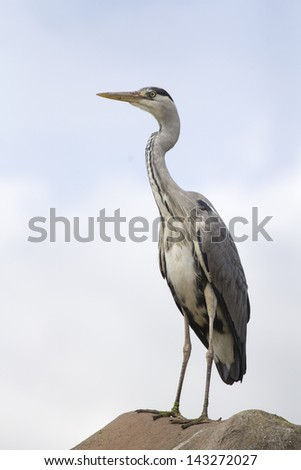 Heron Standing On a Rock with a Sky Background - stock photo
