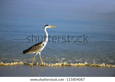 Heron wading in the ocean by the beach - stock photo
