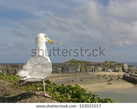Herring gull, Larus argentatus looking to the port of St. Ives, Penwith, Cornwall, Southwest England, UK - stock photo