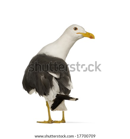 Herring Gull - Larus argentatus (3 years) in front of a white background - stock photo