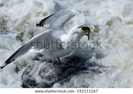 Herring Gull (Larus smithsonianus) catching a herring during the spring herring run up the Charles River in Watertown, MA. - stock photo