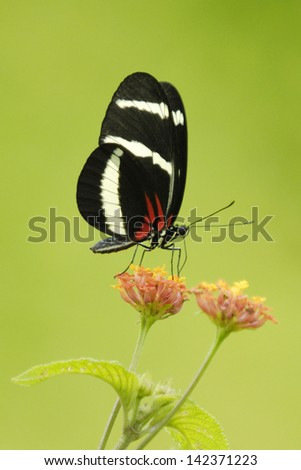 Hewitson's Longwing butterfly (Heliconius hewitsoni) feeding in Costa Rica rainforest - stock photo