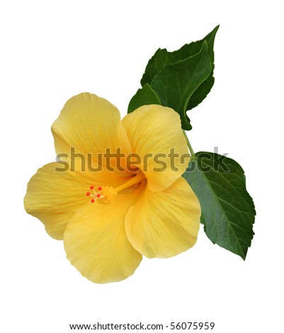Hibiscus - stock photo