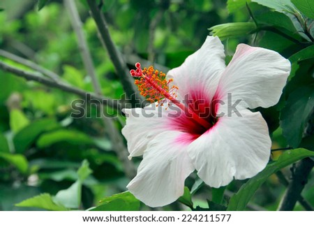 Hibiscus flower in the garden. Detail of the stamen and pistil - stock photo