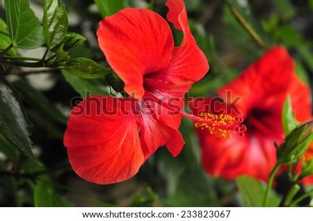 Hibiscus flower red petal - stock photo