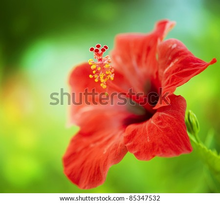 Hibiscus Flower. Shallow focus - stock photo