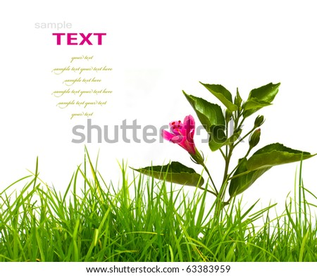 Hibiscus flower with green leaves and fresh spring green grass isolated on white background. - stock photo