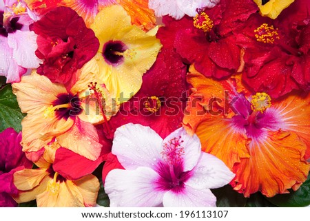 Hibiscus flowers  - stock photo