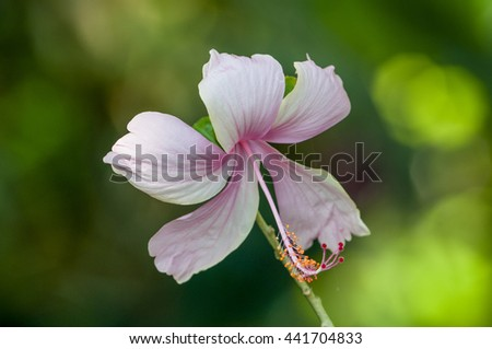 Hibiscus flowers are blooming natural beauty. - stock photo