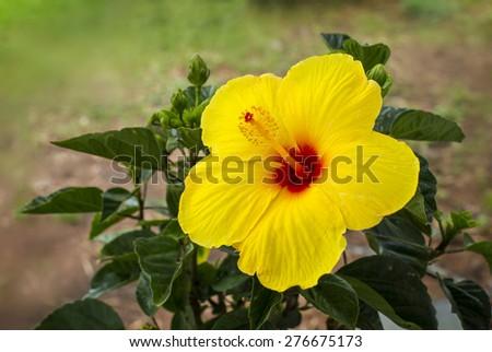 Hibiscus (hibiscus malvaceae) - stock photo