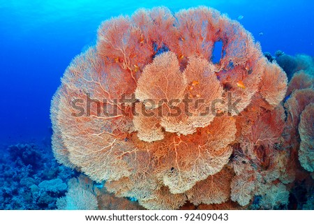 Hickson's fan coral (Subergorgia hicksoni Kashman) in the Red Sea, Egypt. - stock photo