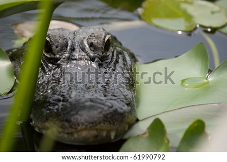 Hidden alligator waiting - stock photo