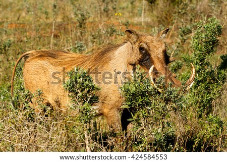 Hide Me -Phacochoerus africanus - The common warthog is a wild member of the pig family found in grassland, savanna, and woodland in sub-Saharan Africa. - stock photo