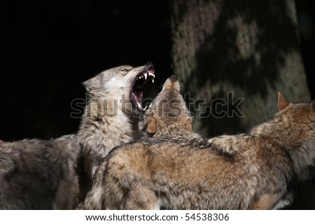 Hierarchic encounter between gray wolves (Canis lupus) - stock photo