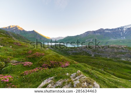 High altitude alpine landscape at dawn with blooming rhododendrons in the foreground and big lake in the background. Summer and springtime in the italian Alps. - stock photo