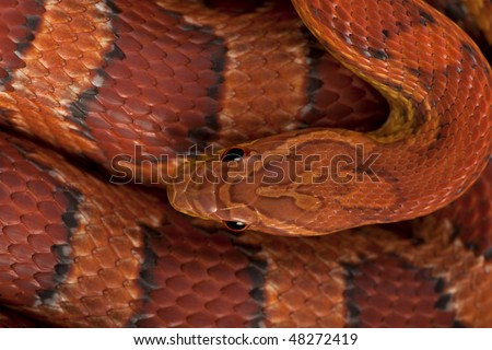 High angle view of corn snake or red rat snake, Pantherophis guttattus - stock photo