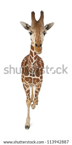 High angle view of Somali Giraffe, commonly known as Reticulated Giraffe, Giraffa camelopardalis reticulata, 2 and a half years old walking against white background - stock photo