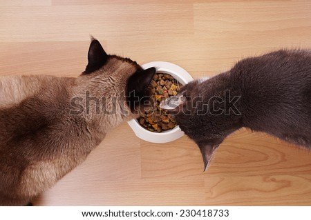 high-angle view of two cats eating form the same bowl of dried cat food - stock photo