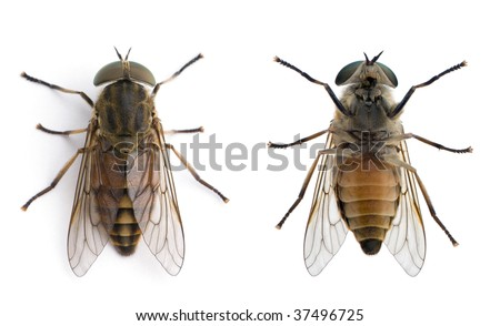 High angle view of two pale giant horse flies, Tabanus bovinus, against white background, studio shot - stock photo