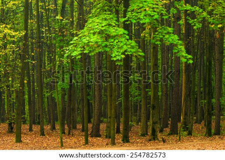 high beautiful green maples early autumn - stock photo