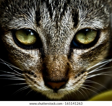 high contrast cat face with beautiful eyes - stock photo
