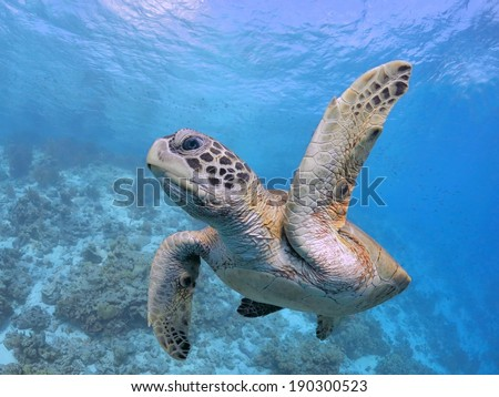 High Five, Pick Me, Sea Turtle close up in Caribbean - stock photo