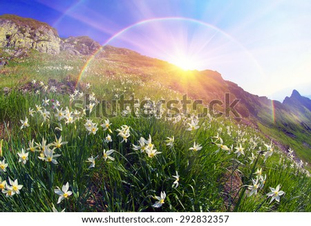 High in the mountains of the Alps Marmarosh grow rare wild daffodils, when the snow melts and becomes teplee- in June. Near a lot of stones, moss, and at the same time blooming rhododendrons - stock photo