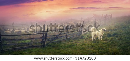 High in the mountains shepherds graze cattle among the panorama of wild forests and fields of the Carpathians. After the rain is a beautiful mist at dawn. Sheep provide wool and milk, meat - stock photo