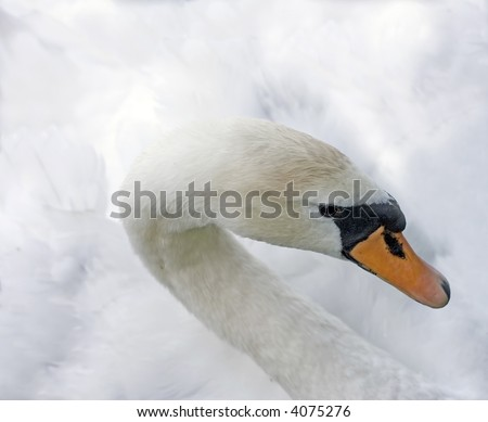 high-key portrait of a young swan isolated on white - stock photo