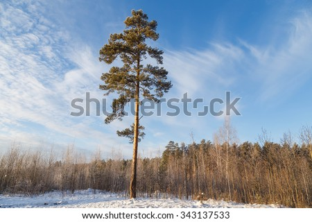 High pine in a forest on a hill - stock photo