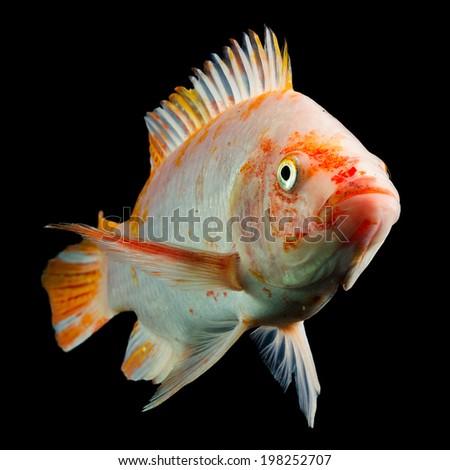 Black cichlid stock photos images pictures shutterstock for Tilapia aquarium