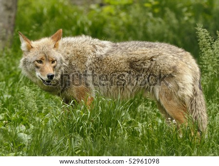 High resolution closeup of a Canadian coyote. - stock photo
